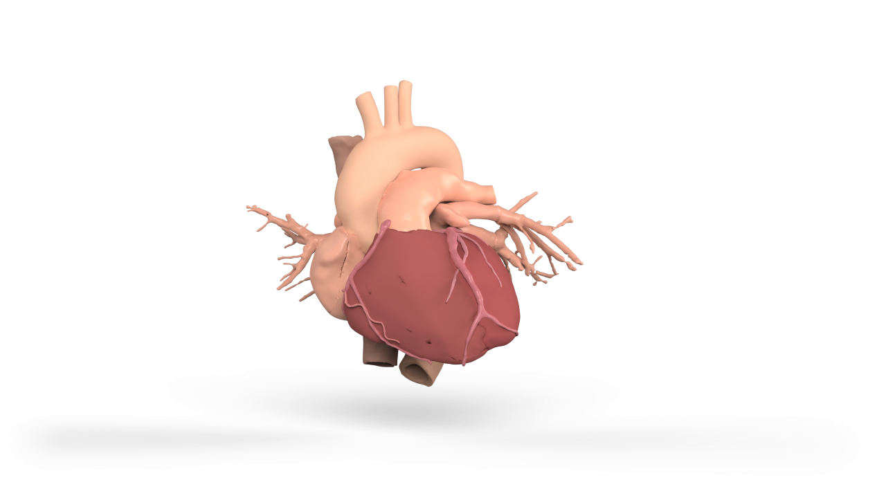 3D render of a physiologically accurate heart